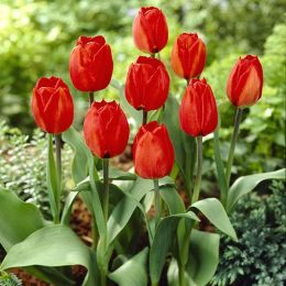 Тюльпан Red Flair фото