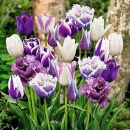 Тюльпаны Парадизо Микс фото