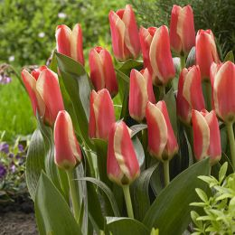 Тюльпан Mothers Love фото