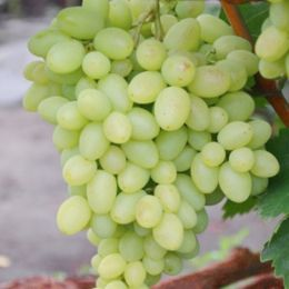 Виноград кишмиш Бриз фото
