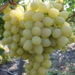 Виноград Княгиня Ольга фото