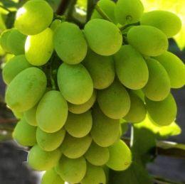 Виноград Алекса фото