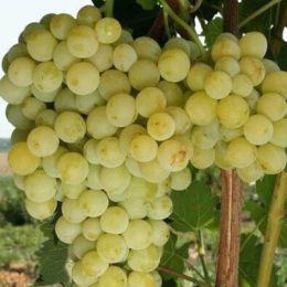 Виноград Бианка фото