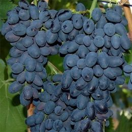 Виноград Молдова фото