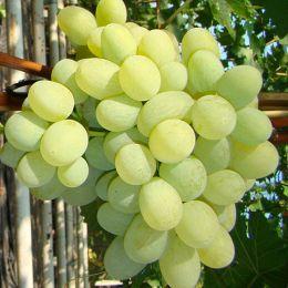 Виноград Новый Подарок Запорожью фото