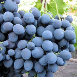 Виноград Страшенский фото