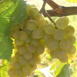 Виноград Загрей фото