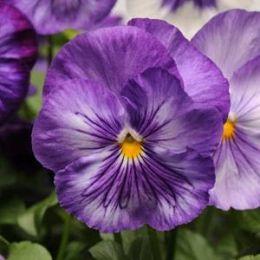 Фиалка Matrix Lavender Shades фото