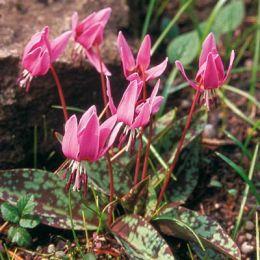 Эритрониум Rose Queen фото