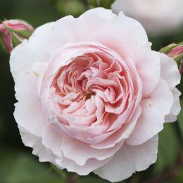 Роза Wisley 2008 фото
