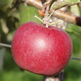 Яблоня Джонаголд фото