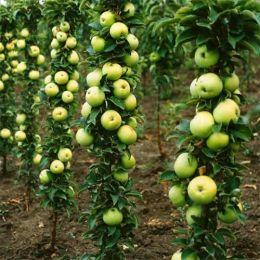 Яблоня колоновидная Малюха фото