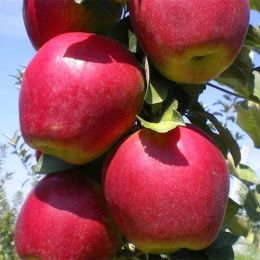Яблоня Моди фото