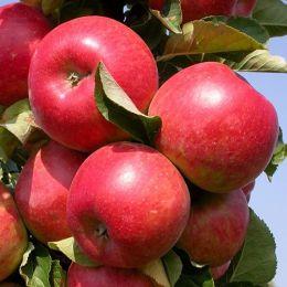 Яблоня Виста Белла фото