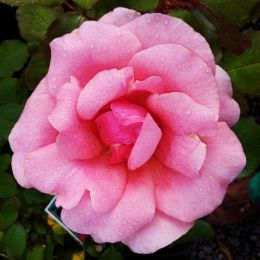Роза Zephrine Drouhin фото