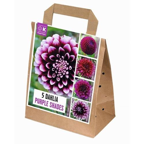 Купить Цибулини Kapiteyn, 100 днів цвітіння жоржин Shades of Purple (Брендові цибулини KAPITEYN®)