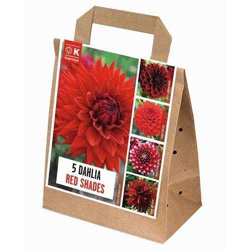 Купить Цибулини Kapiteyn, 100 днів цвітіння жоржин Shades of Red (Брендові цибулини KAPITEYN®)