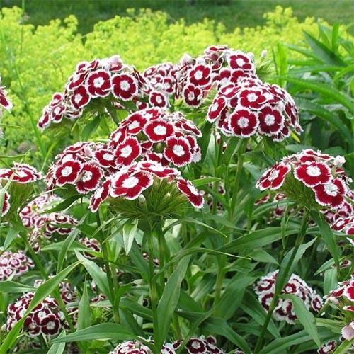 Купить Рослини для сухого ґрунту, Гвоздика Holborn Glory