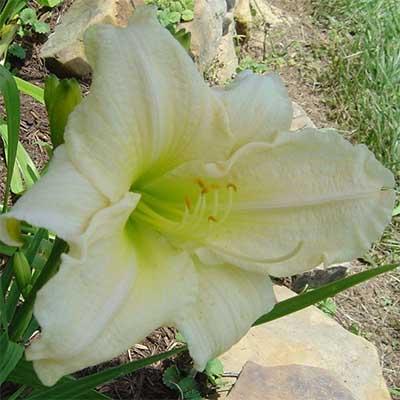 Купить Світлолюбні рослини, Лілейник Moment of Truth