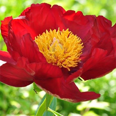 Купить Рослини для вологого ґрунту, Півонія Orange Glory