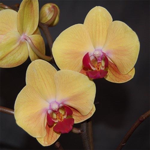 Купить Фаленопсис (орхідеї), Фаленопсис Голден Бьюті (Golden Beauty)
