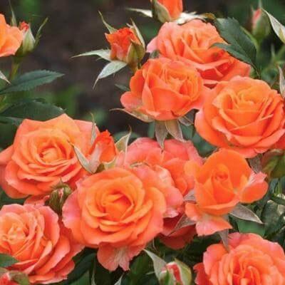 Троянда Алегрія