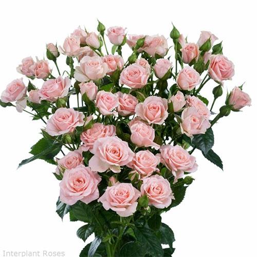 Троянда Лідія