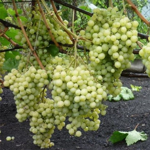 Виноград Супер Екстра