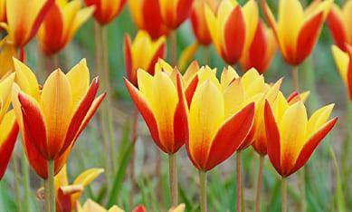 Луковицы ботанических тюльпанов