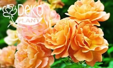 Саженцы роз Декоплант