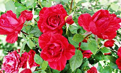 Саженцы роз Делбар
