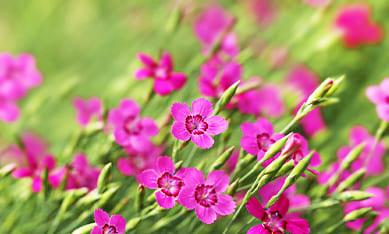 Саженцы гвоздики травянки
