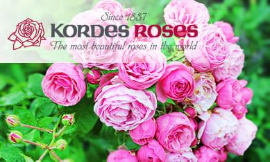 Саженцы роз Кордес