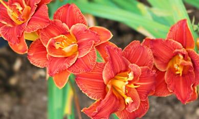 Саженцы лилейников повторноцветущих