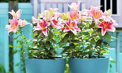 посадить лилии для выгонки