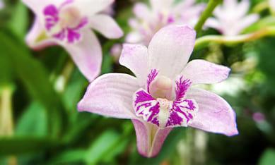 Клубни орхидей Каттлея