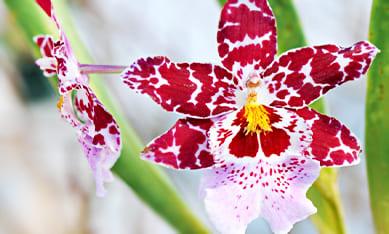 Саженцы орхидеи Камбрия