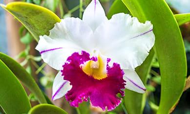 Саженцы орхидей дендробиум