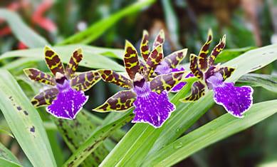 Саженцы орхидей зигопеталум