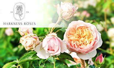 Саженцы роз Харкнесс
