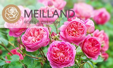 Саженцы роз Мейланл