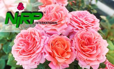 Саженцы роз Нирп