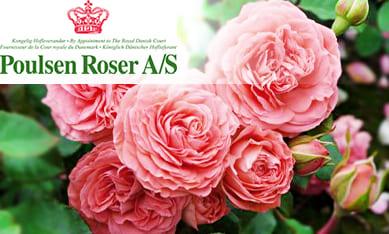 Саженцы роз Поульсен