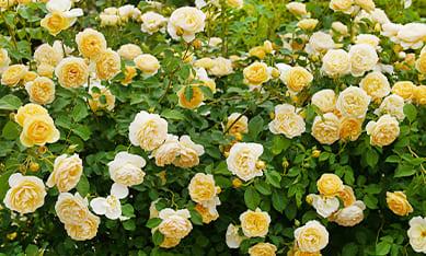 саженцы роз недорого