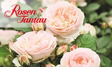 Саженцы роз Тантау