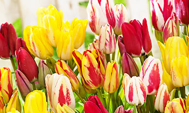 Луковицы семейных тюльпанов