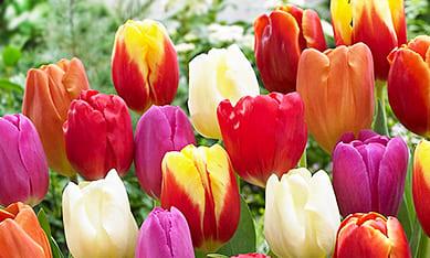 Луковицы тюльпанов изображение