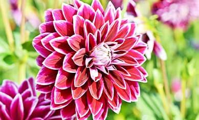 Клубни крупноцветковых георгин