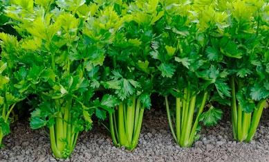 Семена сельдерей