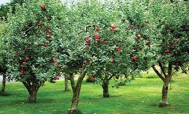 купить плодовые деревья